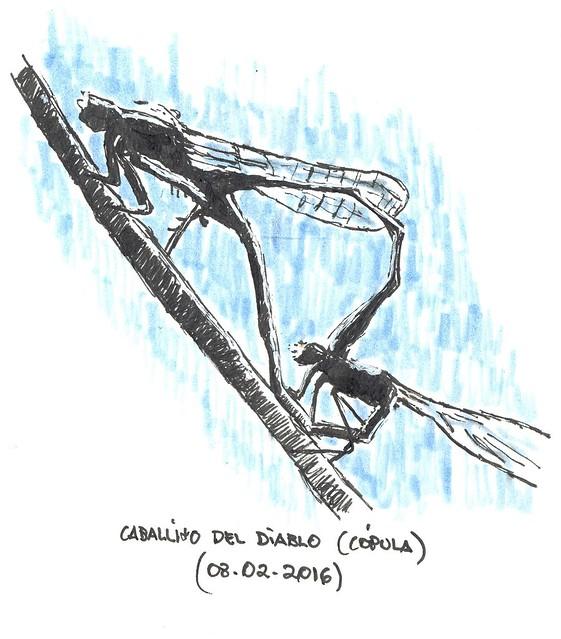 Caballitos del diablo (Calopteryx xanthostoma)