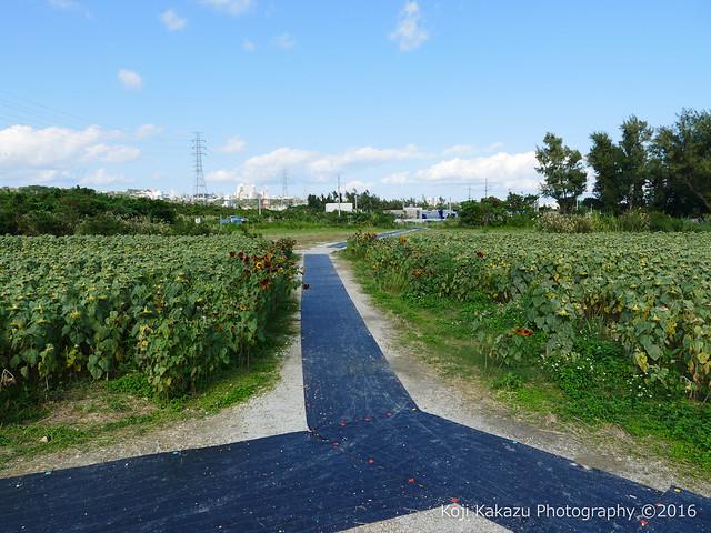 沖縄県北中城村のひまわり-96