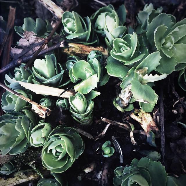 Sedum #sedum #patiogardens #spring