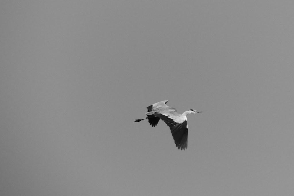 田野間的鳥拍 【FZ300】