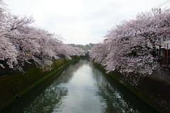 染井吉野 Prunus yedoensis