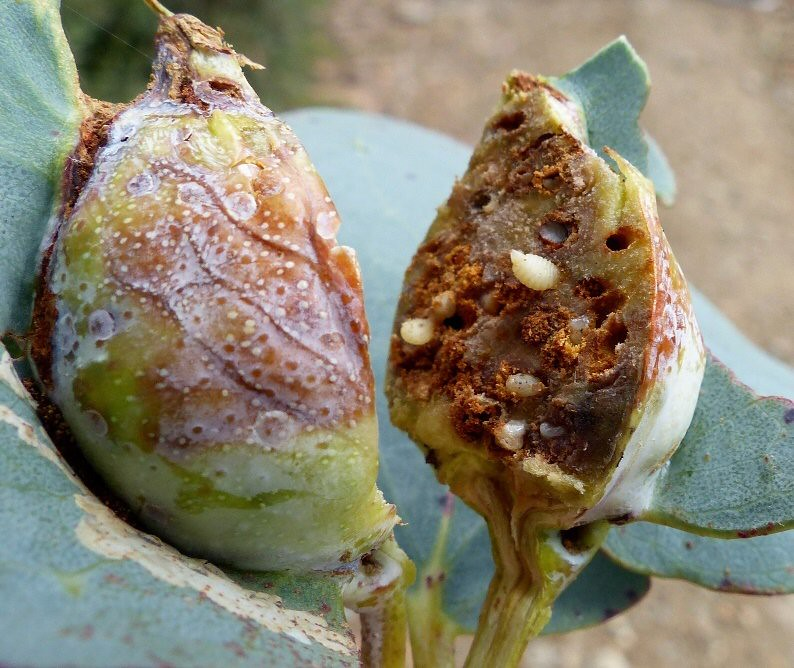 Gall cut to larvae