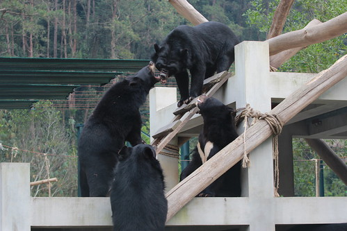 Four rescued bear pals play with each other on the platform at VBRC