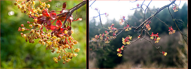 Acer rubrum  Rot-Ahorn