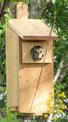 Yellow crested box owl