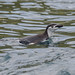 Chinstrap all at sea by Tim Melling