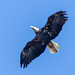 Small photo of American Bald Eagle