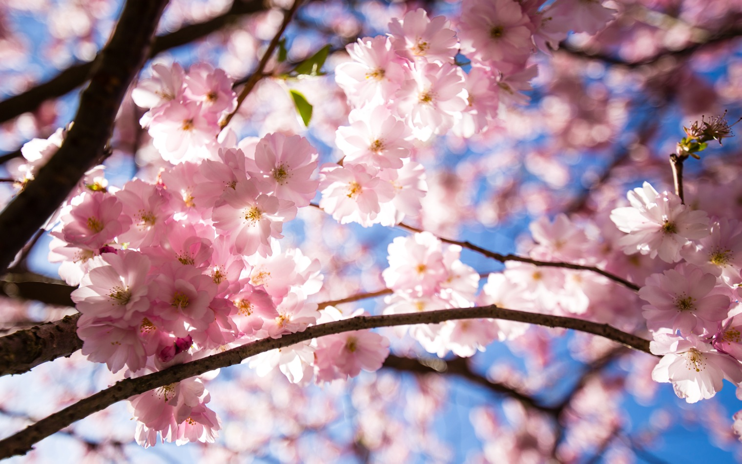 Bispebjerg Sakura-3414