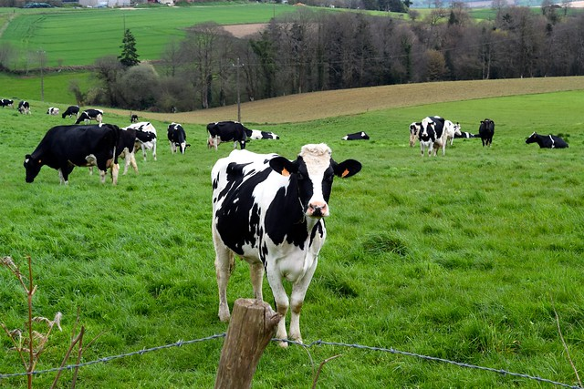 Cows in Brittany, France | www.rachelphipps.com @rachelphipps