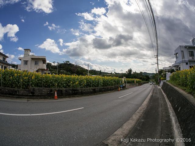 沖縄県北中城村のひまわり-38