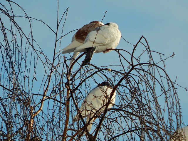 нахохлившиеся голуби