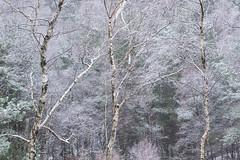 HolderThree Birches