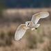 Barn owl by den9112