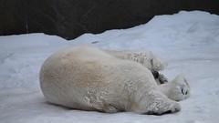 Happy Polar Bear Rolling Around In The Snow