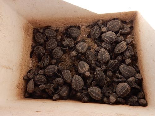 Celestino Gasco - turtle release - 1