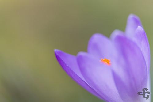 fleur crocus flore macrophotographie etiquettesdemotsclésimportées
