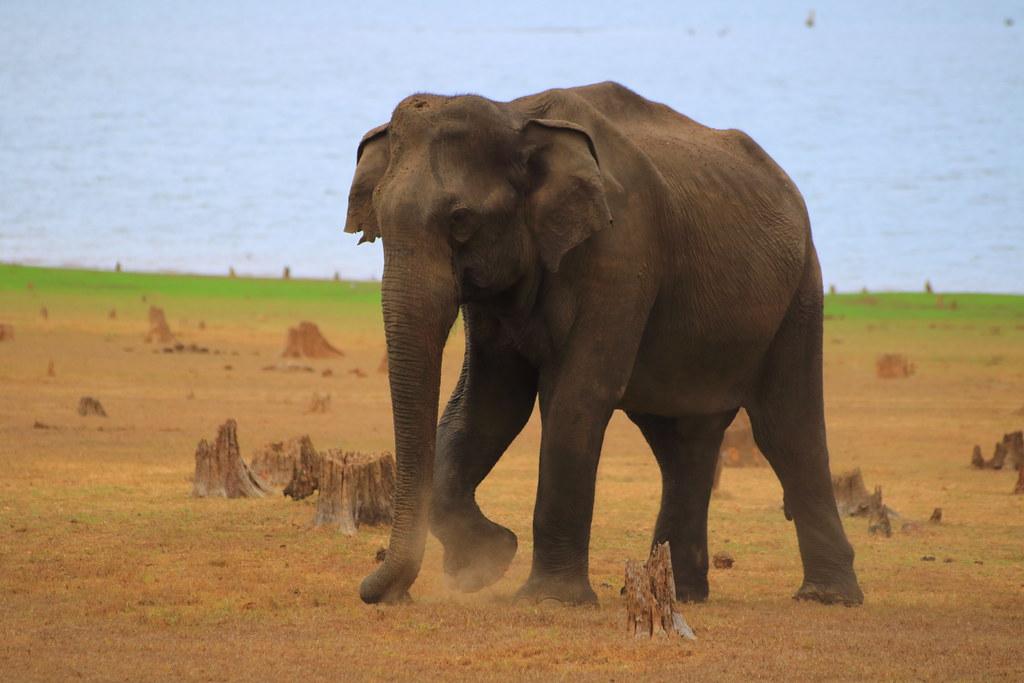 Makhna elephant