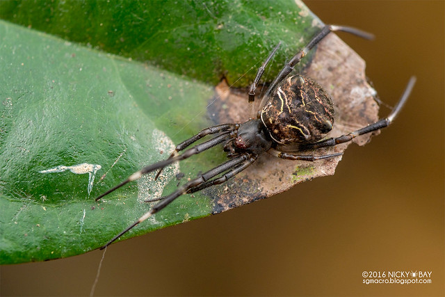 Comb-footed spider (Episinus sp.) - DSC_6412