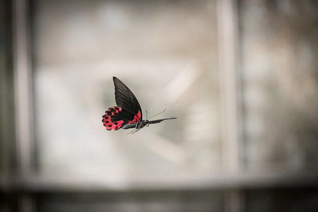 Butterfly in Flight