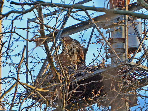 Grant's Tomb Hawk Nest - 6917