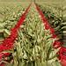 Tulips 42 by FarhadFarhad .(Farhad Jahanbani)