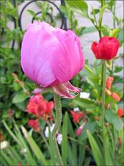 Pink rannunculus