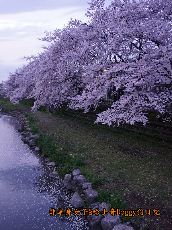 日本東京深大寺溫泉周邊賞櫻花24