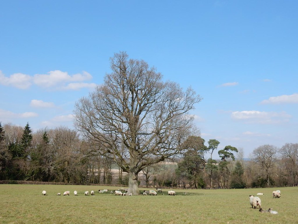 Sheep and tree Ashurst to Eridge