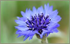Cornflower Color