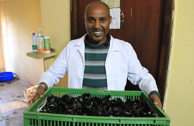 Wondemeneh Esatu, National Project Coordinator at the Ethiopian Institute of Agricultural Research, holds a crate of the newly hatched 'grade 1' Potchesfroom Koekoek chicks