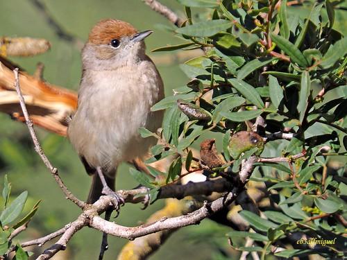 Sylvia atricapilla ( Curruca capirotada) (19)