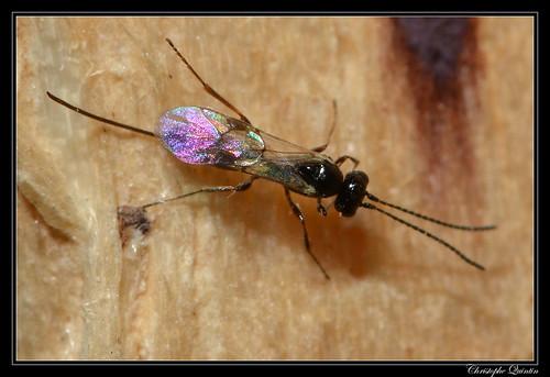Ichneumonidae/Tersilochinae