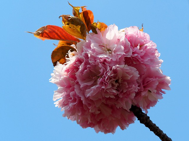 Photo:Kanzan cherry blossoms By Greg Peterson in Japan