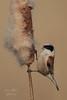 Rémiz penduline - ( Remiz pendulinus ) Eurasian Penduline Tit #1219