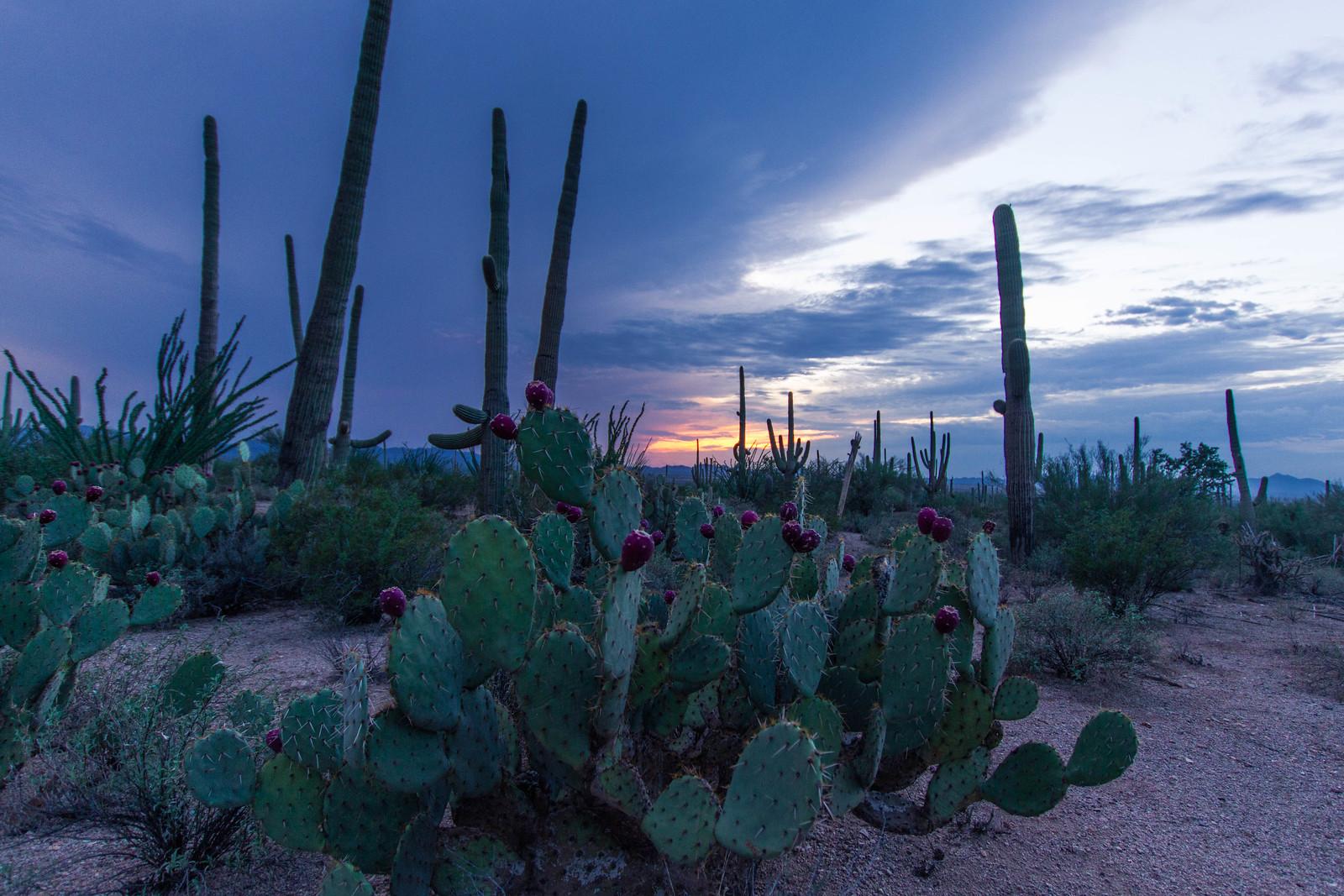 Saguaro-20