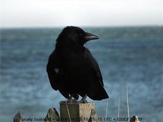 Broughty crow DSCF7518