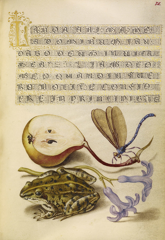 006- Fol 75- iluminado con pera, libélula, rana y jacinto- Mira Calligrafhiae monumenta- Joris Hoefnagel- Getty Museum.