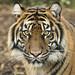 Siberian Tiger by Xiang&Jie