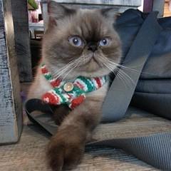 Nacho the Cat #Thailand #Bangkok #bkk #catsofthailand #cat #catstagram #catsofinstagram #kitten #caterday #caterdaycafe #caterdaycatcafe