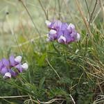 Di, 15.12.15 - 12:25 - Arvejilla - Patagonian Pea - Lathyrus Nervosus