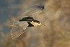 Bihoreau gris ( nycticorax nycticorax ) - Black-crowned Nighteron #1173 by corinne rolland