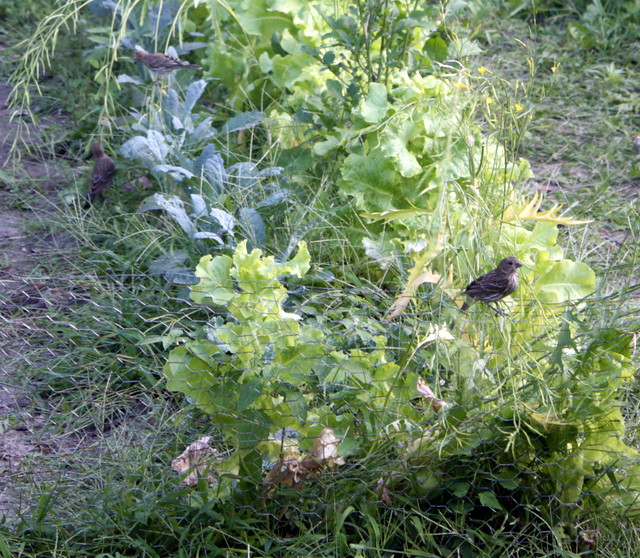 two birds in the kale, one bird on a short fence next to lettuce