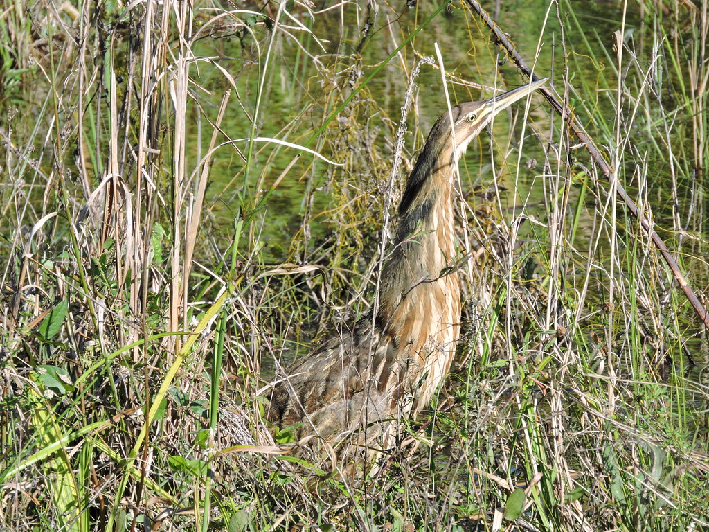 American Bittern #38 Lifer 142