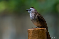 Sparrow@Jurong Bird Park