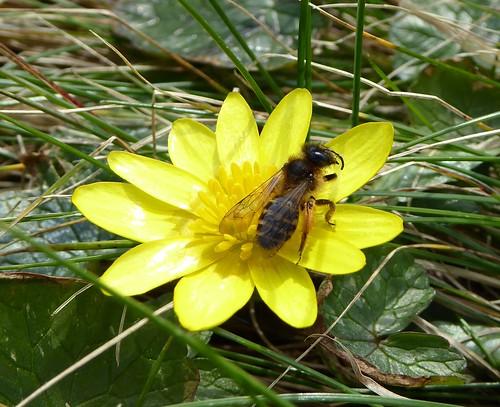 poss Andrena flavipes