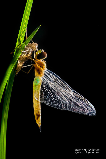 Dragonfly freshly emerged (Anisoptera) - DSC_3644b