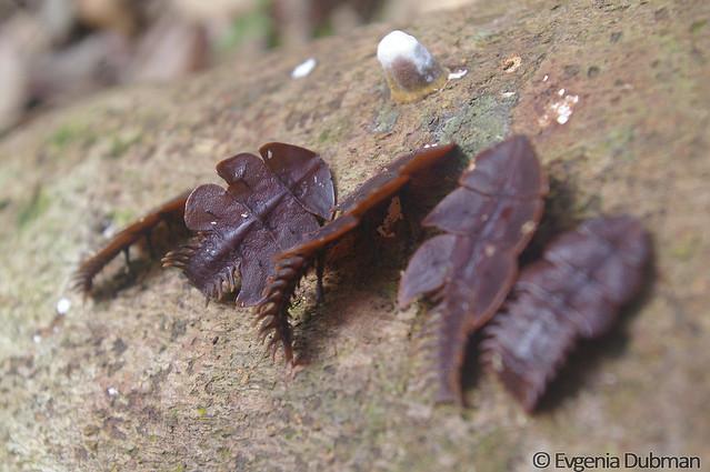 5 - Trilobite beetle (Platerodrilus sp)_ED_wm