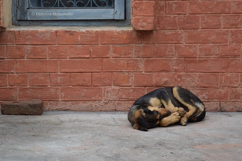 dog india nikon canine 1855mm 1855 punjab kapurthala pariahdog d3300