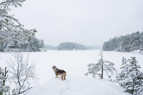 dog pet fire hiking australianshepherd nuuksio redmerle