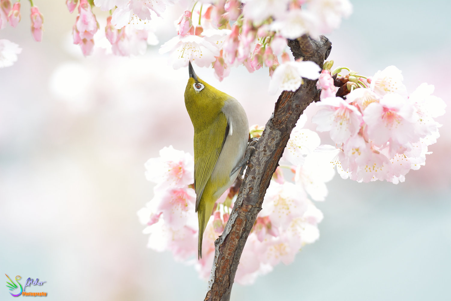Sakura_White-eye_6562